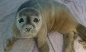 foca celebration rescatada
